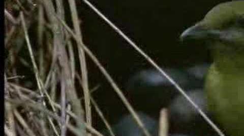 David Attenborough - Animal behaviour of the Australian bowerbird - BBC wildlife