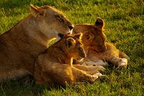 Maasai-mara-kenya-mama-lion-licking-cub-big