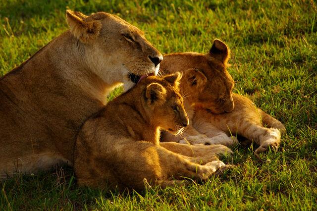 File:Maasai-mara-kenya-mama-lion-licking-cub-big.jpg