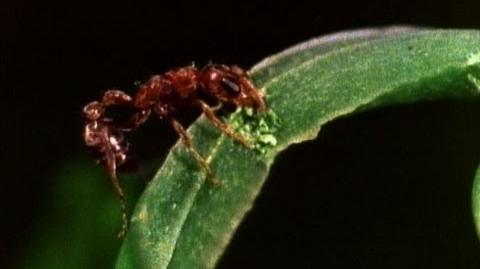 Amazing Symbiosis Ant Army Defends Tree