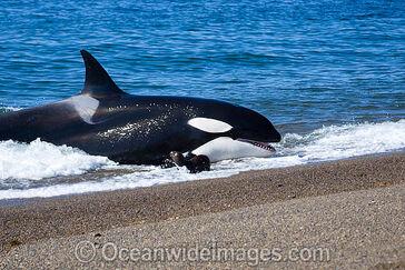 Orca-56m1434-16