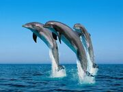 Dolphins-thumb-500x375-58062