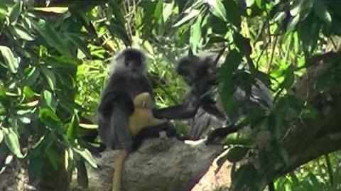 Allo-mothering in primates