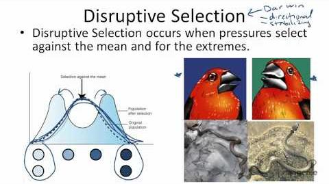 Disruptive Selection Examples In Nature