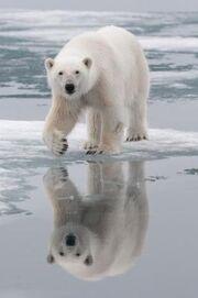 PolarBear Science Daily