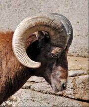 Male bighorn