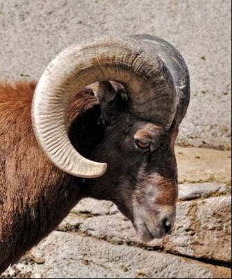 File:Male bighorn.jpg