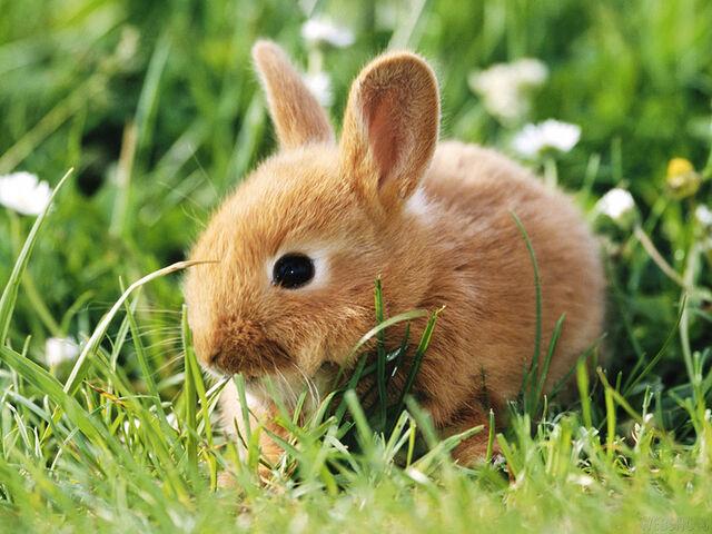 File:46454-bunnies-cute-rabbit-wallpaper.jpg