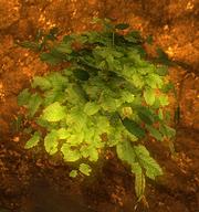 Belmart pflanze01.png