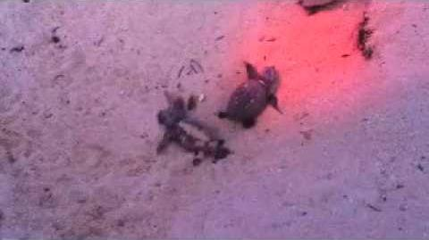 Reef Resort Turtle Hatching