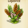 Liquorice plant