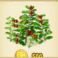 Cowberries plant