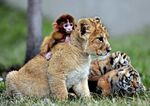 Baby monkey, lion and tiger cubs