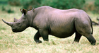 Wikia DARP - Black Rhino