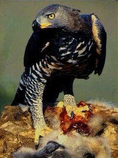 File:Crowned Eagle.jpg