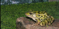 Frog (3.5e Monster)