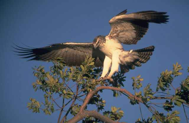 File:Martial Eagle.jpg