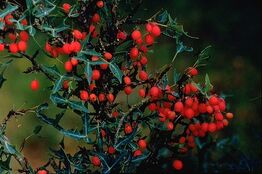Berberis trifoliolata berries