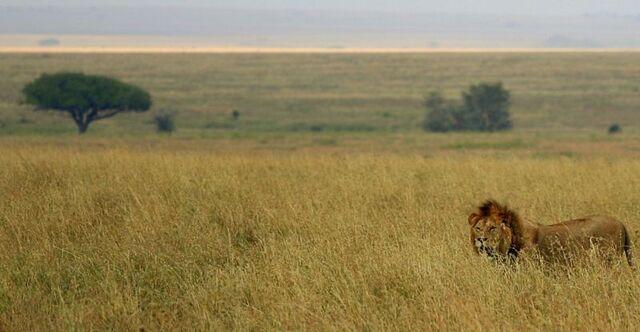 File:Male lion on savanna.jpg