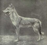 Egyptian Jackal