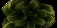 Scrib Cabbage