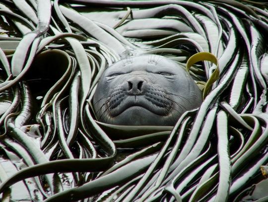 File:Elephant seal kelp.jpg