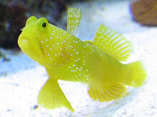Watchman goby 1