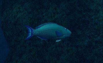 Bicolour Parrotfish