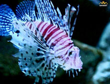 A Butterfly of the sea....Lion Fish
