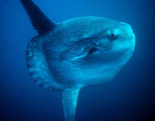 File:767px-Mola mola.jpg