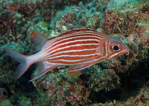 Sammurai squirrelfish