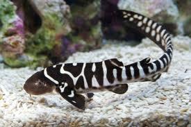 Young Zebra Shark