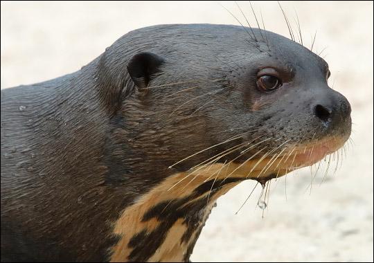 File:Giant otter.jpg