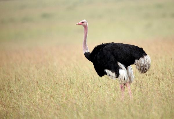 File:12 Ostrich.jpg