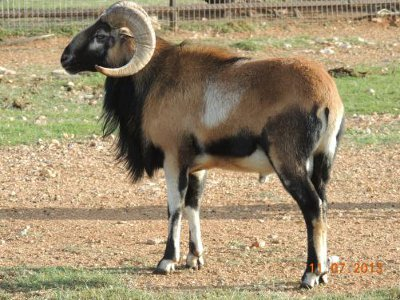 File:1 Blackbelly Sheep.JPG