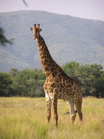 File:3 Giraffe.jpg