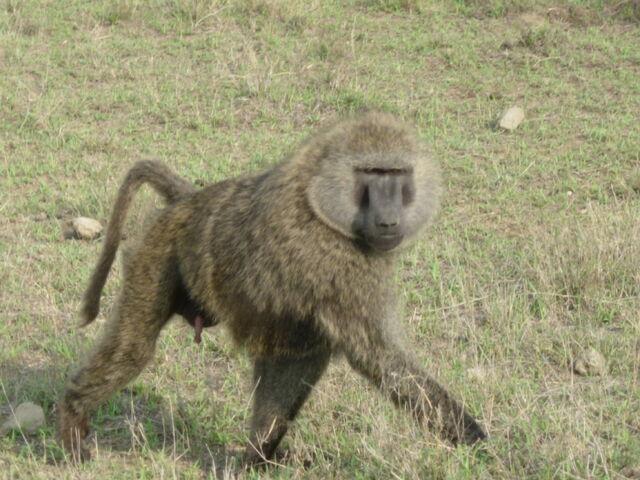 File:20 Baboon.jpg