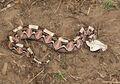 24 Dhulkarian Viper.jpg