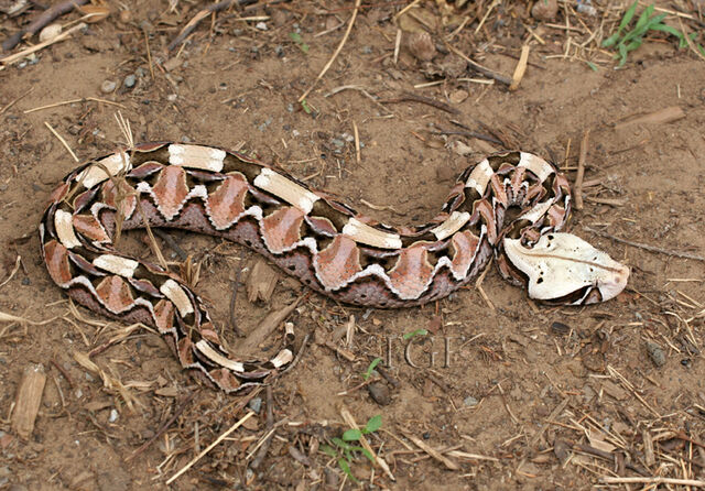 File:24 Dhulkarian Viper.jpg
