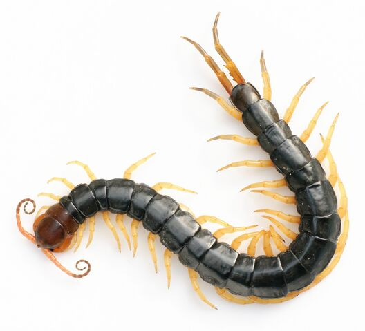 File:Scolopendra subspinipes.jpg