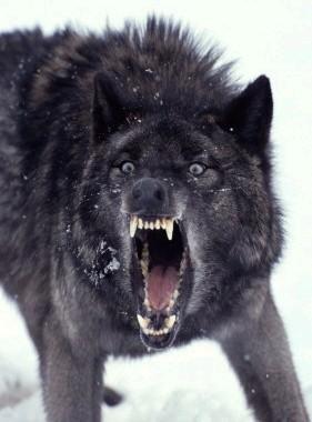 File:Snarling Wolf.jpg