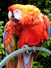 Red Parrot wallpapers by free wallpapers (10)