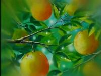 EP096 Frutos del pomelo