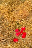 16615874-rose-petals-and-dry-grass