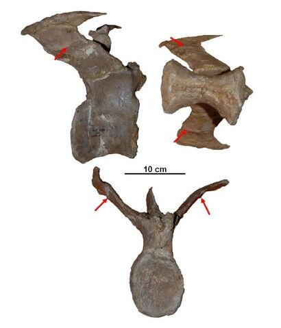 File:Aucasaurs - 2(Caudal vertebra(Jaime Headden)).jpg
