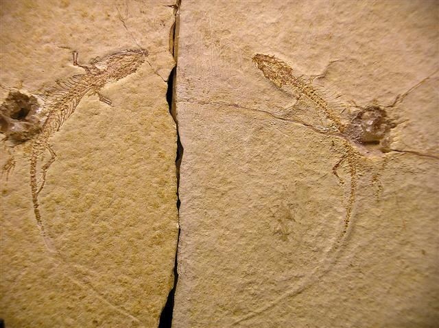 File:Palaeolacerta - 1(Holotype).jpg