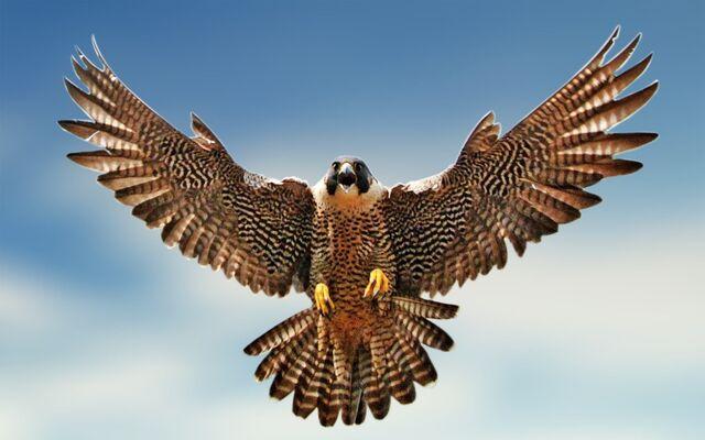 File:Falcon-Image 1.jpg