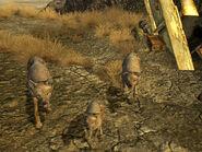 Coyotes CW
