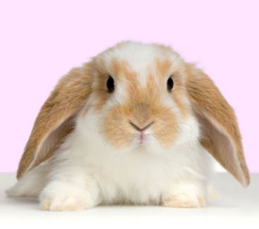 File:Fluffy bunny.png