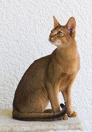 Abyssinian shorthair cat